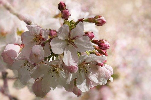 cherry-blossom-3291200__340.jpg