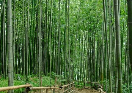 대나무.jpg